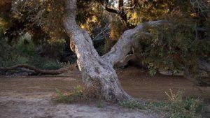Un tronc d'un arbre centenaire