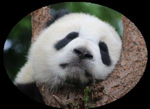 Un panda endormi dans un arbre